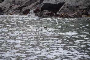 A Sea Otter outside of Monterrey Bay